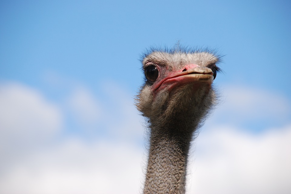 Business Survival - Ostrich